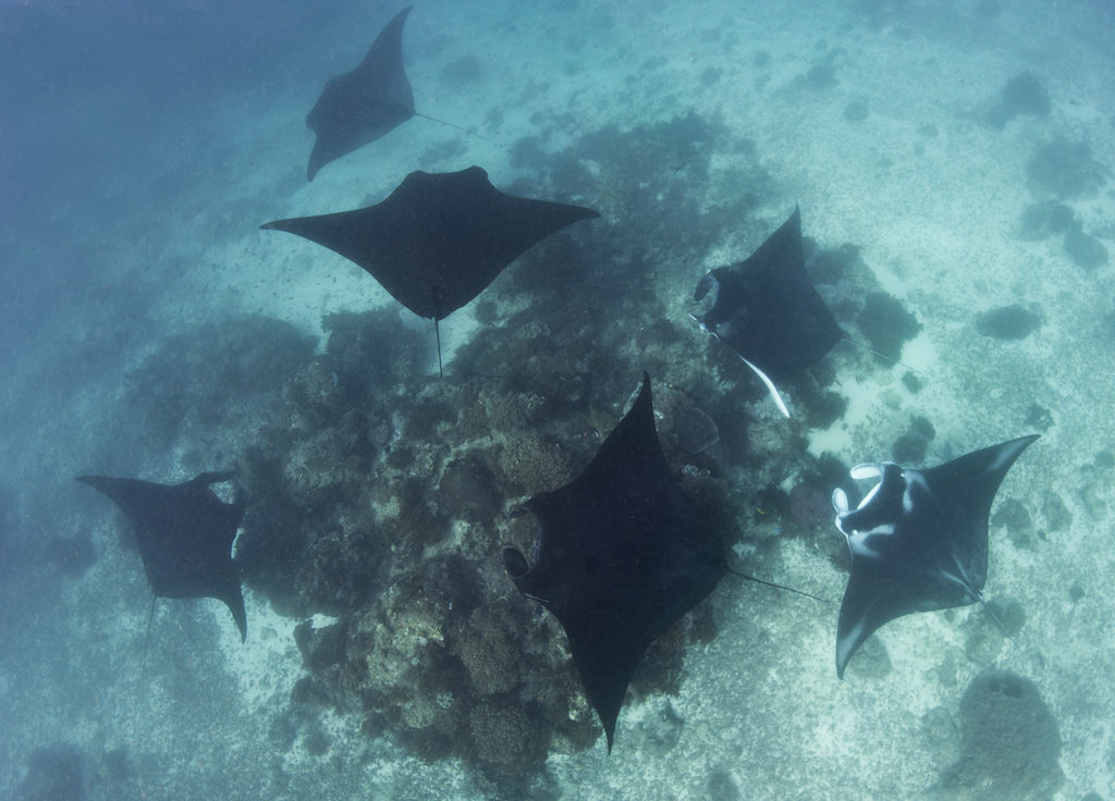 Social behaviour at manta ray cleaning station