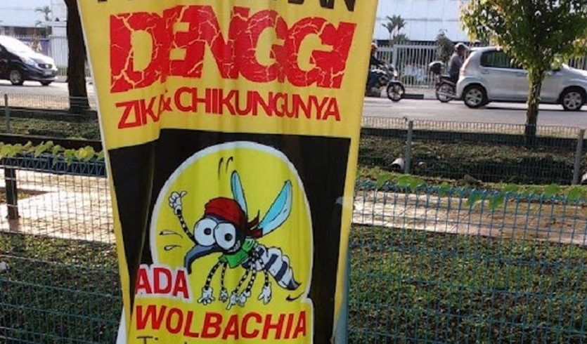 Fighting dengue fever with Wolbachia bacteria