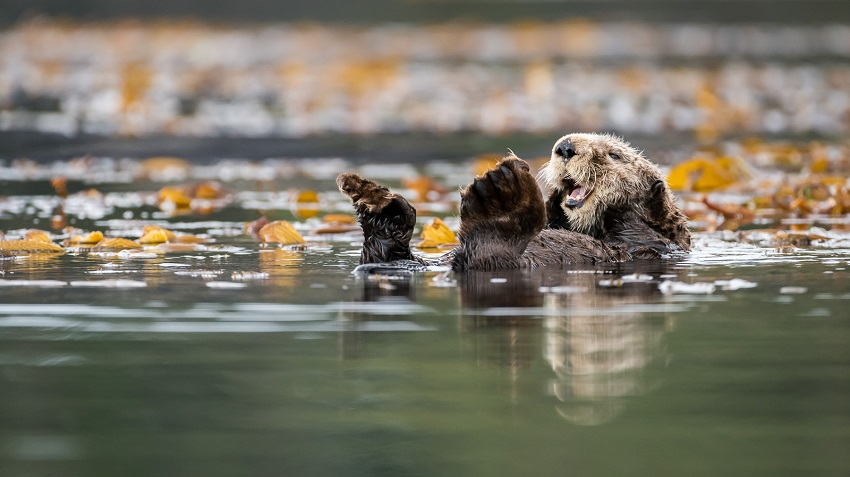 Sea otter conservation